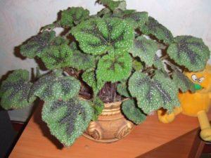 Бегония укореняющаяся комнатные растения