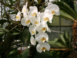 Освещение орхидей фаленопсис