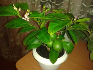 Лимон комнатное растение уход