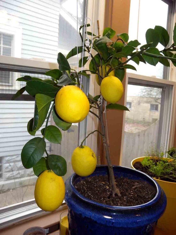 цветок лимонник домашний фото нашли новости
