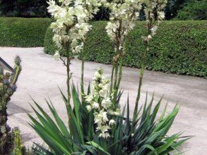 Юкка — уход в домашних условиях, как цветет пальма Юкка (фото) и как ухаживать во время цветения, выращивание растения в горшке