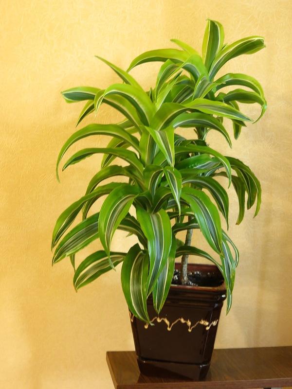 Драцена уход в домашних условиях ( фото как цветет комнатное растение