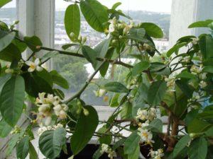 Как выращивать лимонное дерево в домашних условиях из косточки?