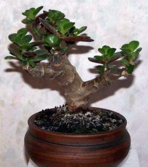 Денежное дерево (толстянка): уход в домашних условиях, приметы и суеверия, лечебные свойства