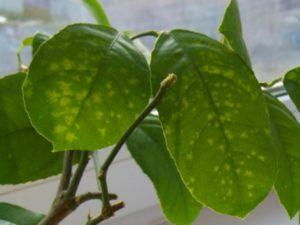Чем обработать лимон от вредителей