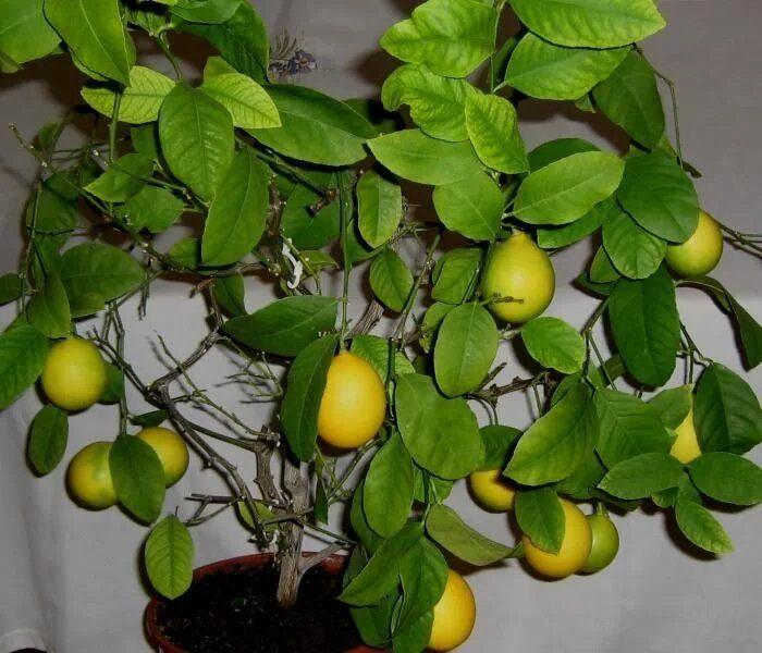 Лимонное дерево Дженоа